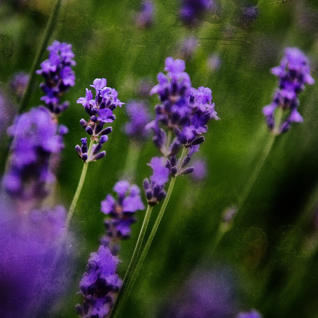 Lavendel-haslefoto.jpg